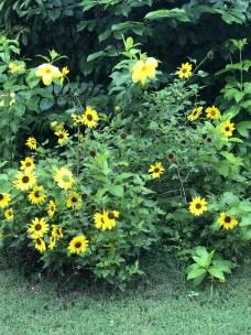 Golden Yellow 1 jpg